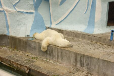 polar bear in captivity. bear sleeps on his belly in a zoo. dangerous bear in the cage. Stock fotó - 129330262
