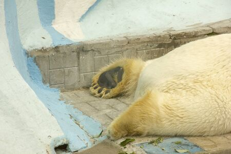 polar bear in captivity. bear sleeps on his belly in a zoo. dangerous bear in the cage.