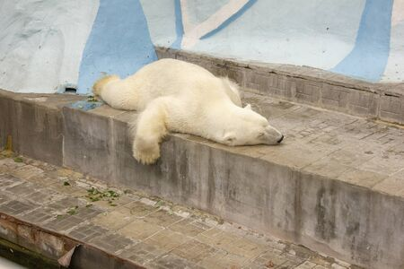 polar bear in captivity. bear sleeps on his belly in a zoo. dangerous bear in the cage. Stock fotó - 129330315