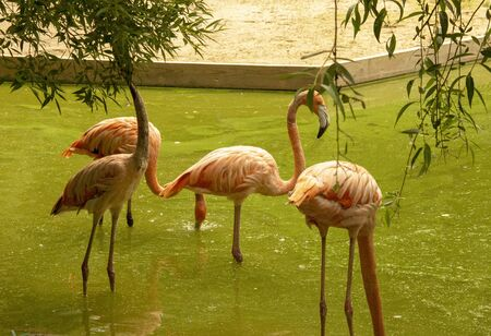 Pink flamingo in a pond in a zoo. Birds in captivity. Beautiful birds. Stock fotó