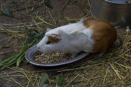 little guinea pig eats food in a plate. Stock fotó - 133565977