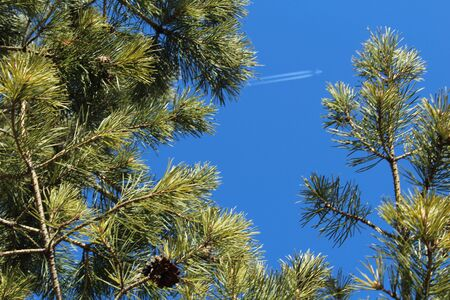 Beautiful image of a flying white plane with a trail in the blue sky. shot through spruce branches