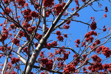 Rowan branch with a bunch of red ripe berries. Sorbus aucuparia tree closeup on sky background
