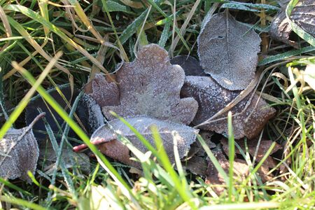 An oak leaf lies among other leaves and pine needles on the floor in the forest. frost kissed on a cold morning