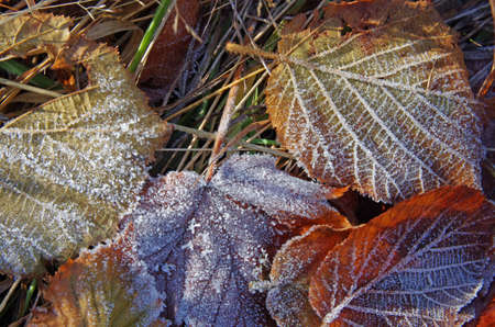 Close up of frozen leaves as background