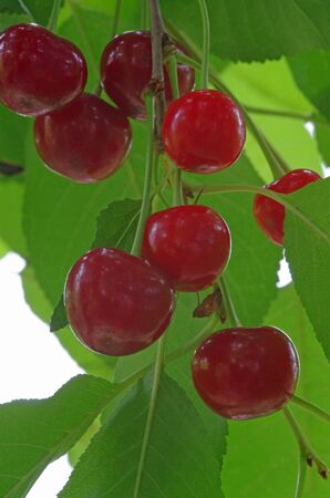 Cherry tree in the garden, close up image Stock Photo - 14436120