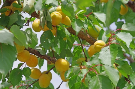 Apricot tree with fruits in the garden Stock Photo - 14436122
