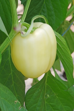 Yellow pepper on a cluster in greenhouse photo