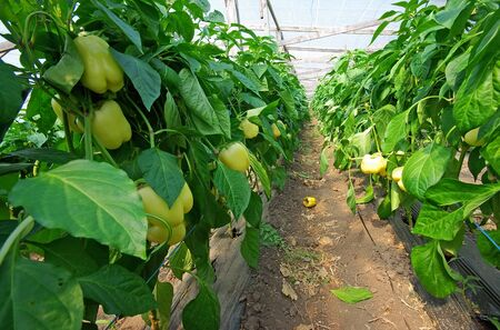Yellow pepper plant in a greenhouse