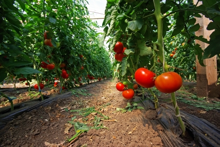 traditional plants: Tomato plant in a greenhouse, close image Stock Photo