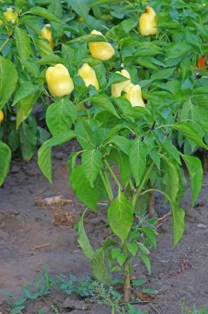 Yellow pepper plant in the garden, fresh  fruit Stock Photo - 15046378