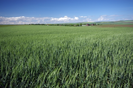 Green wheat landscape and the blue sky photo