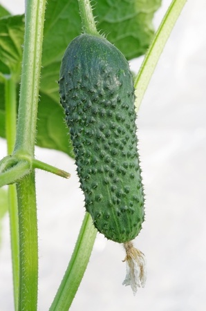Small cucumber with plant over white photo