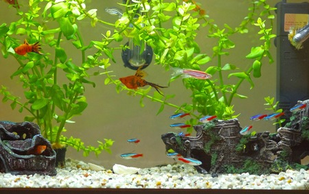 neon tetra: Home aquarium with fishes and plants