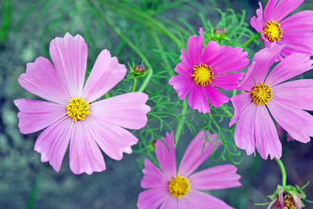 lila: A close up image with lila flowers as background Stock Photo