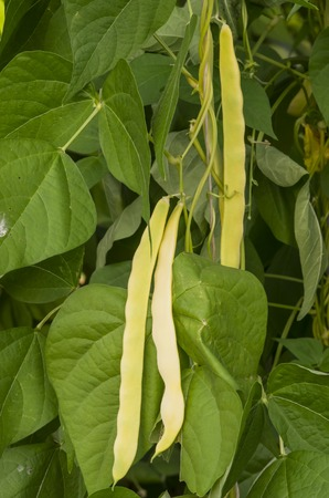 Kidney bean plant in the hot house Stock Photo