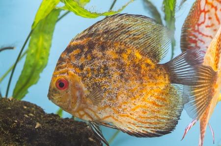 diskus: Orange fish in the aquarium with green plants