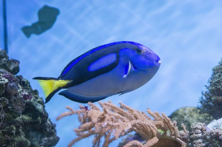 Blue tang fish swimming and coral reef background