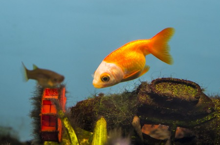 Beautiful gold parrot fish swimming in the water  photo