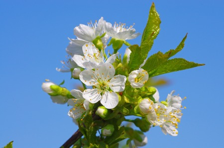 Cherry tree flower on the blue sky, close up image.