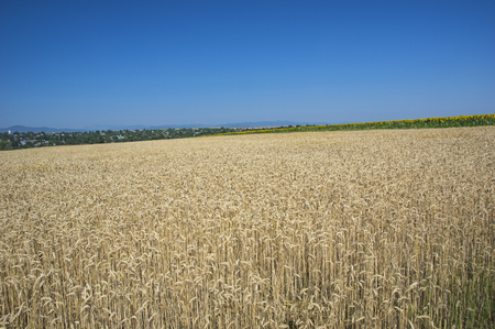 Wheat field and the village behind