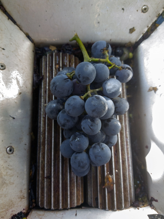 Ripe grape on crusher. Crush the grapes into wine