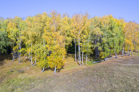 Golden birch forest in autumn, Colorful forest in a sunny october day. Stockfoto
