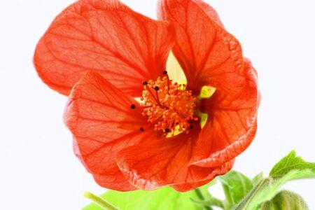 Close up image of orange abutilon flower over white Zdjęcie Seryjne