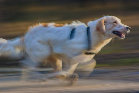 Adorable running dog in sun linghts, motion blur Stockfoto