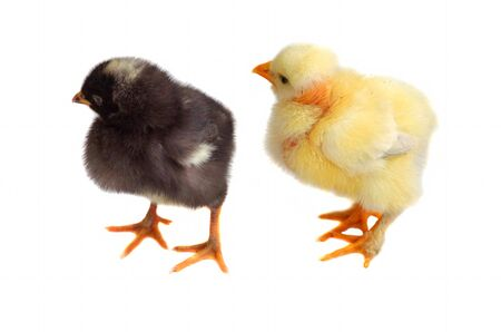 One black and one white young chicken isolated