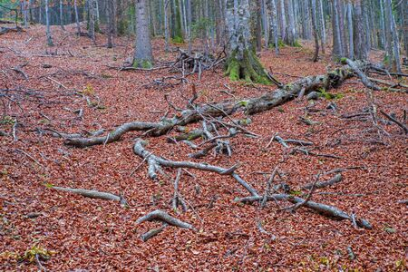 Fallen and broken tree in the forest, autumn landscape of colored foliage Reklamní fotografie