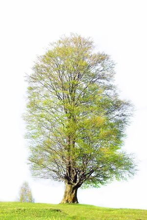 Big tree during springtime isolated over white