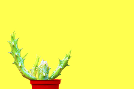 Green small cactus in a small bucket on a pastel yellow background with copy space for text. Marsh cactus in a brown pot Stock Photo