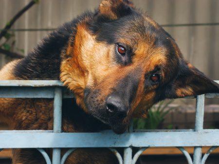 shepherd dog at the homeless animal shelter