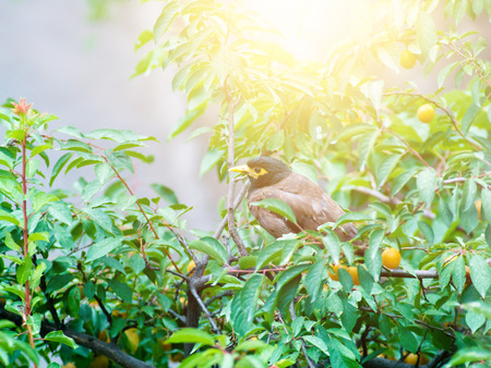 Afghan thrush sitting on a branch. Afghan thrush sits on a tree. Stock Photo