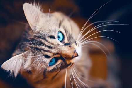 Portrait of striped cat. European cat with blue in front on a beautiful background.