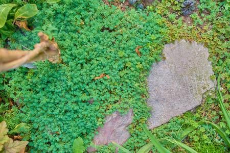Sedum. Sedum flowering plant with starry flowers growing between massive rocks.