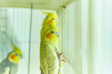 Yellow parrot Corella holding the edge of the cage next to other birds