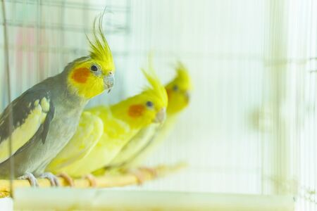 Group of parrot corrals sit and swing in a cage