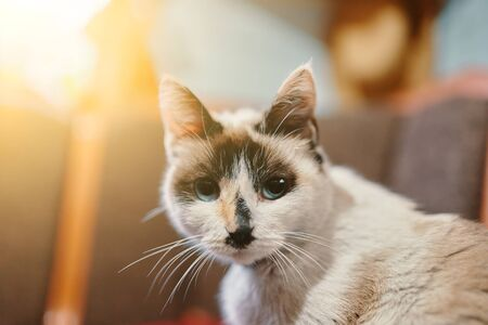 White cat. Cute blue eyes cat sitting on sofa. Stok Fotoğraf