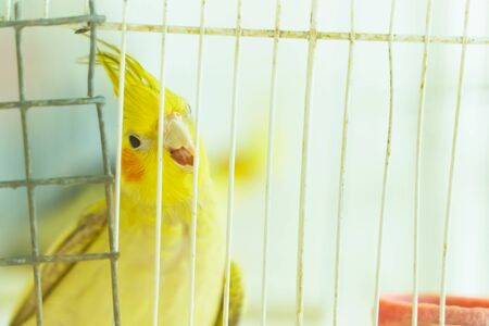 Yellow parrot Corella holding the edge of the cage