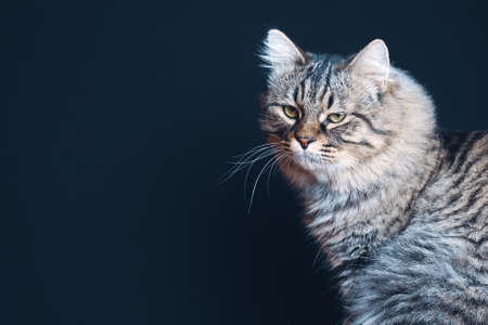 Portrait of brown striped fluffy cat with attentive closeup look with copy space 免版税图像