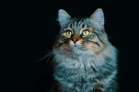 Portrait of a young striped fluffy cat close-up on dark 免版税图像