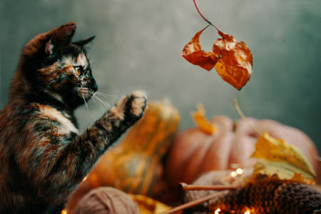 Cute colorful cat playing with a dry autumn leaf. A cat, yarn and knitting and two large pumpkins of different shapes and colors on a green background.
