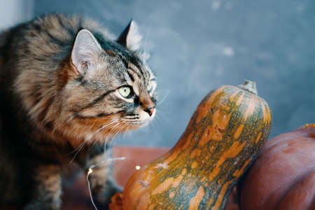 Fluffy cat with pumpkins of different shapes and colors on a blue background. Autumn composition with a cat and pumpkins.