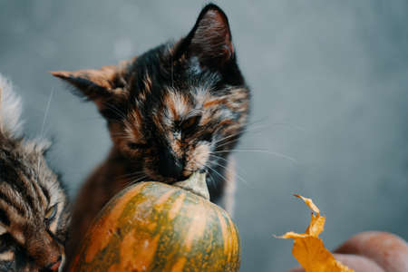 Two cats and a ripe pumpkin on a blue background. One cat nibbles a branch from a pumpkin, another cat sniffs a pumpkin. 免版税图像