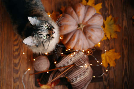 Furry cat looks up, next to an orange pumpkin, yellow leaves and yarn with a knitted scarf. Autumn composition on a wooden background.