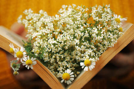 Woman holds book with daisies inside. Female hand with object. Bouquet of wildflowers in open book. Concept of romance.