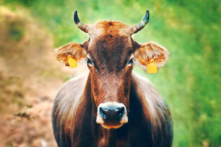 Cow with ear tags. Portrait of a bull looking right at you. Domestic farm animals. Brown cow with horns. Standard-Bild