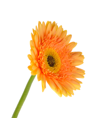 Orange gerbera daisy flower isolated on a white background